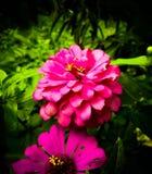 Flor srilanquesa delante del hogar Fotografía de archivo libre de regalías