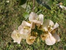 Flor sucia Fotografía de archivo
