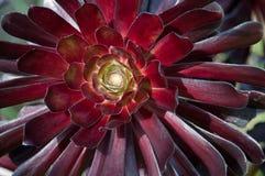 Flor suculenta del Aeonium Foto de archivo