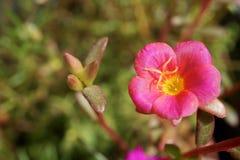 Flor suculenta: Portulaca grandiflora Imagen de archivo libre de regalías