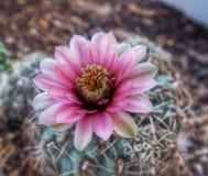 Flor suculenta rosada Imagen de archivo libre de regalías