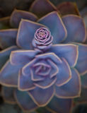 Flor suculento Fotos de Stock