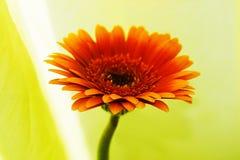 Flor super Fotografia de Stock