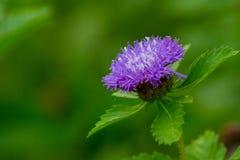Flor tão roxa fotos de stock royalty free