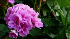 Flor típica en el campo de Toscana almacen de metraje de vídeo