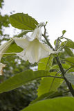 Flor tóxica Imagenes de archivo