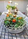 Flor - Tagetes Fotografia de Stock