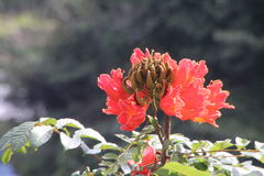 Flor tahitian anaranjada Fotos de archivo