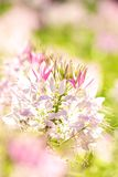 Flor tailandesa Imagens de Stock