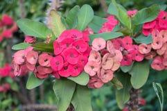Flor tailandesa Fotos de Stock