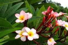 Flor tailandesa Foto de Stock