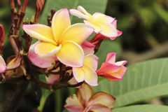 Flor tailandesa amarela do templo Imagens de Stock