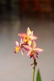 Flor tailandesa da orquídea Imagens de Stock
