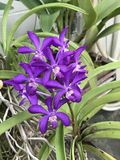 Flor tailandesa de la orquídea del cielo de Vascostylis Imagenes de archivo