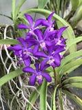 Flor tailandesa de la orquídea del cielo de Vascostylis Imagen de archivo