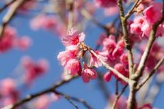 Flor tailandesa de Sakura Fotografía de archivo