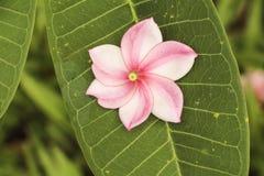 Flor tailandesa do templo Imagem de Stock