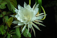 Flor tailandesa na noite Foto de Stock