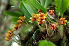 Flor tailandesa selvagem da orquídea (psittacoglossum de Bulbophyllum) na floresta úmida de Chiang Mai, Tailândia Foto de Stock