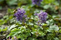 Flor temprana de la primavera del Corydalis Foto de archivo libre de regalías