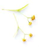 flor Tilo-secada Pequeño-con hojas Imagenes de archivo