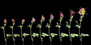 Flor Timelapse de Columbine Foto de Stock Royalty Free
