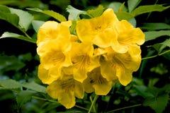 flor Tongurai Fotos de archivo libres de regalías