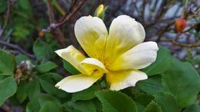 Flor tonificada branca amarela grande fotos de stock