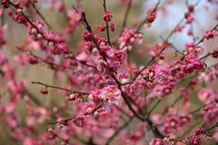 Flor tres del ciruelo foto de archivo libre de regalías