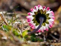 Flor tricolora Fotos de archivo libres de regalías