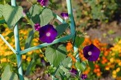 Flor tricolora del Ipomoea en jardín Imágenes de archivo libres de regalías