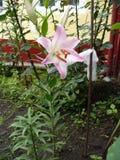 Flor tripla bonita 6 do lírio fotografia de stock