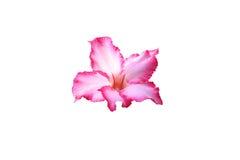 Flor trocista da azálea isolada no branco Fotografia de Stock Royalty Free
