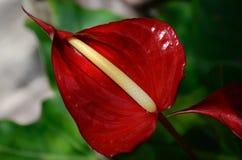 Flor tropical Fotografía de archivo libre de regalías