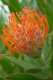 Flor tropical alaranjada vibrante Fotografia de Stock Royalty Free