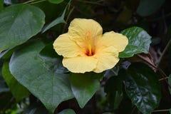 Flor tropical amarela Fotos de Stock