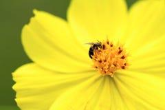 Flor tropical amarilla con la pequeña mosca en el centro Foto del estambre de la flor y de la macro de los pétalos Foto de archivo libre de regalías