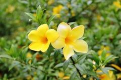 Flor tropical amarilla dos en verde Foto de archivo libre de regalías