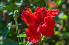 Flor tropical Amaryllis imagen de archivo libre de regalías