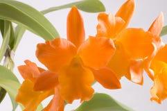 Flor tropical anaranjada Fotografía de archivo