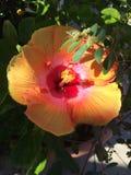 Flor tropical anaranjada del hibisco en la floración imagenes de archivo