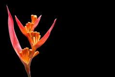 Flor tropical anaranjada inusual Imagen de archivo libre de regalías