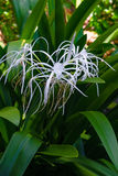 Flor tropical blanca del lirio de la araña en los hymenocallis abigarrados ornamentales del Caribe Caribaea de Trinidad y Tobago Imagen de archivo libre de regalías