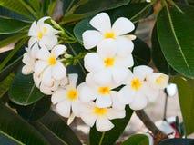 Flor tropical blanca hermosa Imagen de archivo libre de regalías