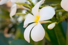 Flor tropical blanca hermosa Imagen de archivo