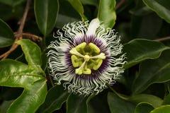 Flor tropical caprichosa entre follaje verde Foto de archivo