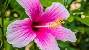 Flor tropical colorida brilhante bonita de rosa-sinensis do hibiscus fotos de stock