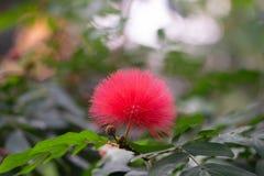 Flor tropical cor-de-rosa bonita da bola de algodão foto de stock royalty free