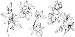 Flor tropical da orquídea do vetor Elemento isolado da ilustração Ilustração Stock