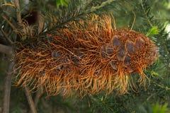 Flor tropical de Brown Fotografía de archivo